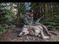 HUNTING BEARS & WOLVES IN IDAHO