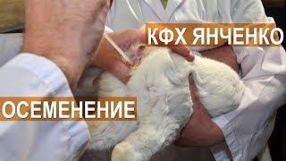 Искусственное осеменение кроликов в КФХ Сергея Янченко. Кабардино-Балкария.
