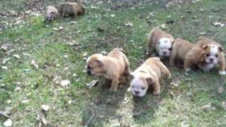 AKC English Bulldog champion lineage puppies for sale