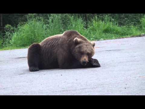 Медведь на дороге,мурманская