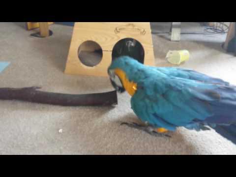 Blind boy knocking on pit bull bird's door