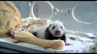 Pandas, the journey home