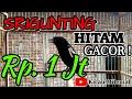 Srigunting Hitam Gacor  Mp3 - Mp4 Download