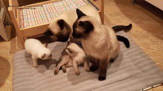 Непростые отношения в кошачьей семье Тайские кошки это чудо Funny Cats