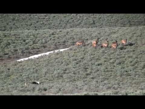 Yellowstone:  Wolves Vs. Elk June 2011