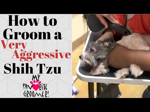 How to Groom a Shih Tzu Very Aggressive