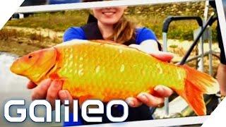 Die riesigen Goldfische aus Kalifornien | Galileo Lunch Break