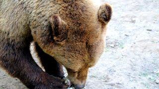 Prédának nézte a vadászt a medve?