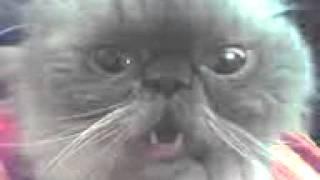 Кот говорит БЛЯ
