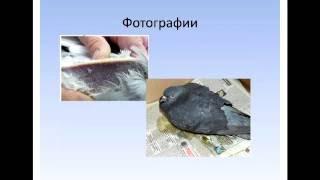 Орнифарм Сальмонеллёз голубей. Практика