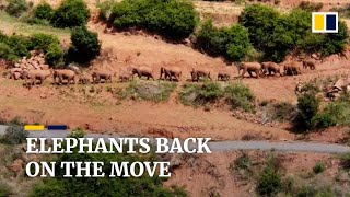 China's herd of rare Asian elephants heads north again after moving south