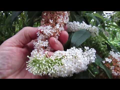 Buddleia, Seed and The Sad Truth About The Bees...