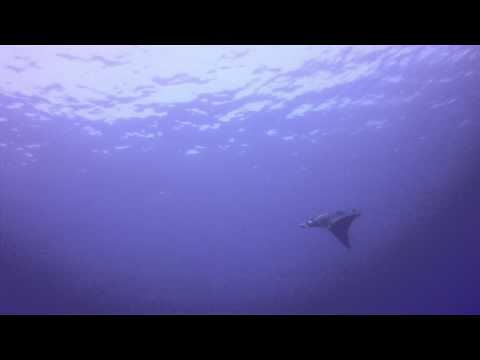 Manta Ray at Elphinstone with RSDS, April 7th 2014 by Chris Janiurek