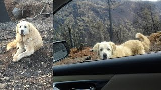 Loyal Dog Found Patiently Waiting for Family at House Destroyed by Wildfire