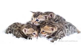 Baby Bengal kittens! Meet the Awesome Foursome and watch them grow.