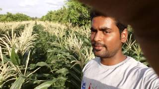 sweetcorn drip system in tirupati