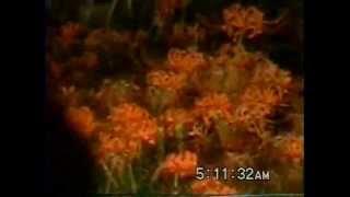 1999年9月28日/30日 出勤前に巾着田に行って、当時お気に入りだった、お...