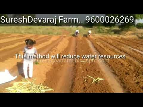 How to plant Super napier - Villupuram tamilnadu farmer 1