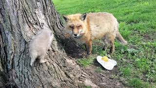 Finnegan Fox tries to share his treat with the fox pup 🦊🦴