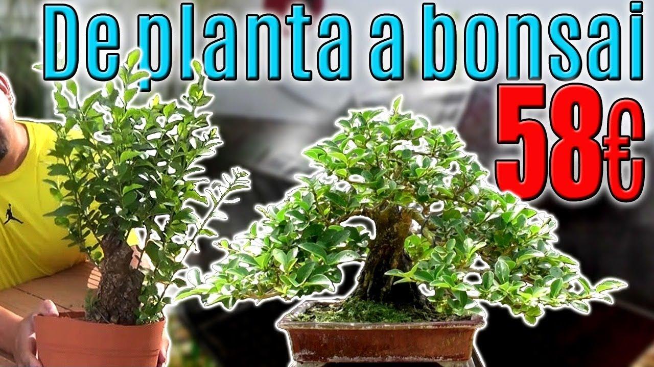 Cómo Hacer Un Buen Bonsai Con Planta De Vivero Youtube