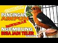 Pancingan Kicau Anis Merah Belajar Teler Burung Yang Ngembung Dijamin Kelecit Kelecit Birahinya  Mp3 - Mp4 Download