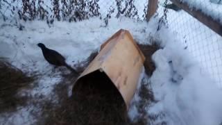Как фазаны переносят зимние холода // Разведение фазанов // Нескучная жизнь в деревне