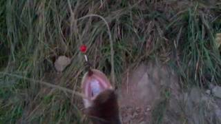 fishing in pakistan Rizwan  catfish 18 nov.2011.mp4