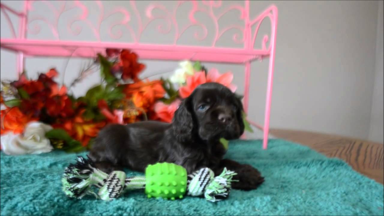 dugan cocker spaniel puppy for cocker spaniel puppies for sale www maryscockerhaven com 7402