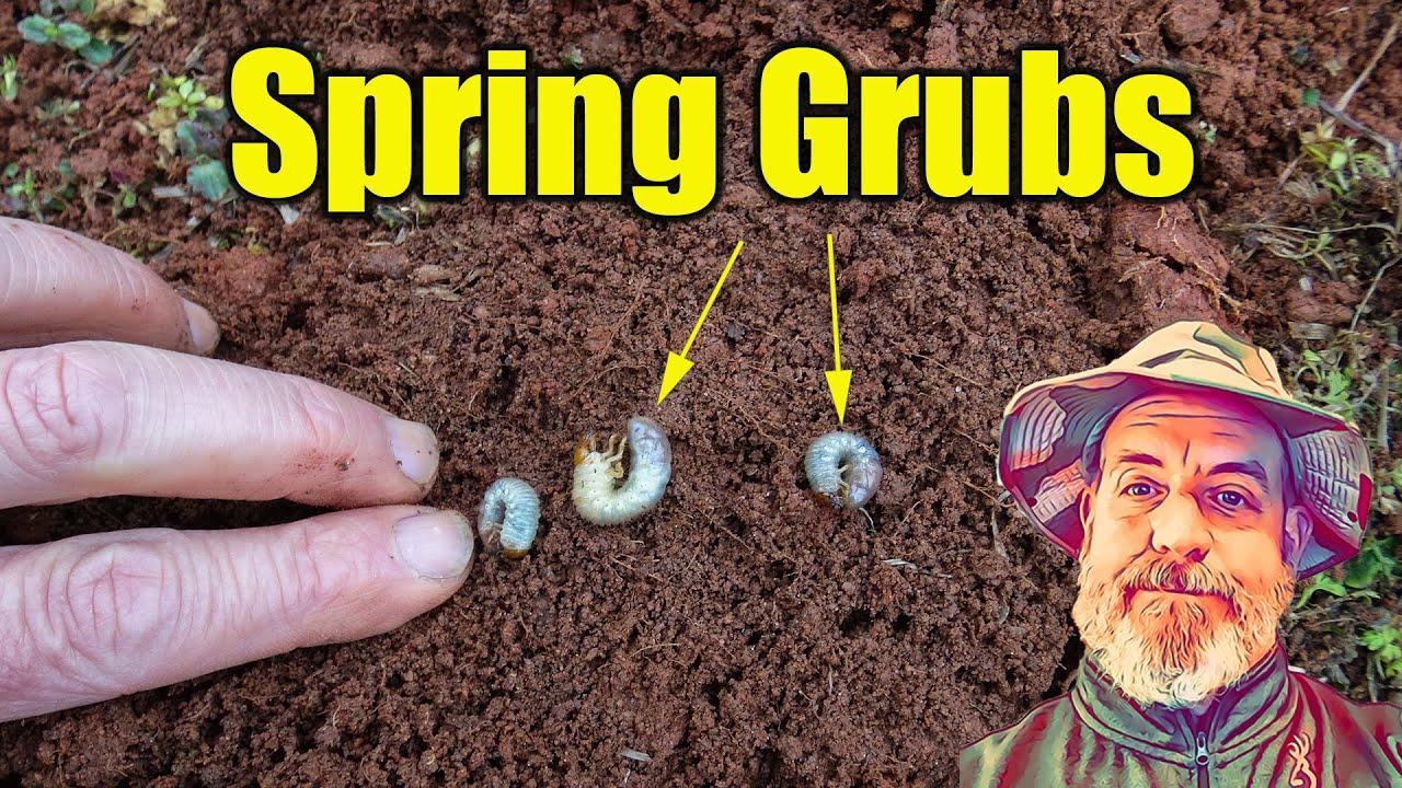 Download Treating Spring Lawn Grubs