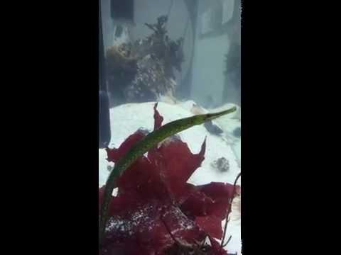 Bay Pipefish