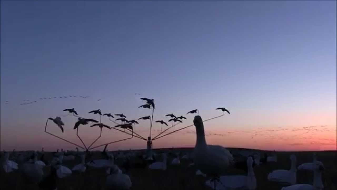 2015 Spring Snow Goose hunting with Pacific Wings Prairie Outfitters in Saskatchewan!