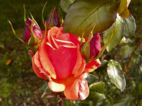 Red is the Rose- Irish ballad-Irish Folk Song- CLOVER Irish Folk & Celtic Rock
