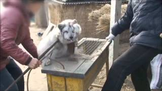 A Shocking Brand New Look Inside Chinese Fur Farms (2012)
