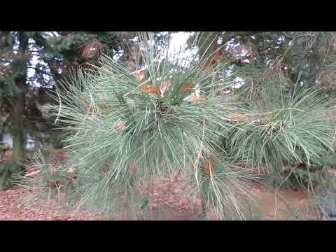 Pinus ponderosa borovice těžká