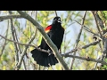Red Winged Blackbird Song And Calls mp3