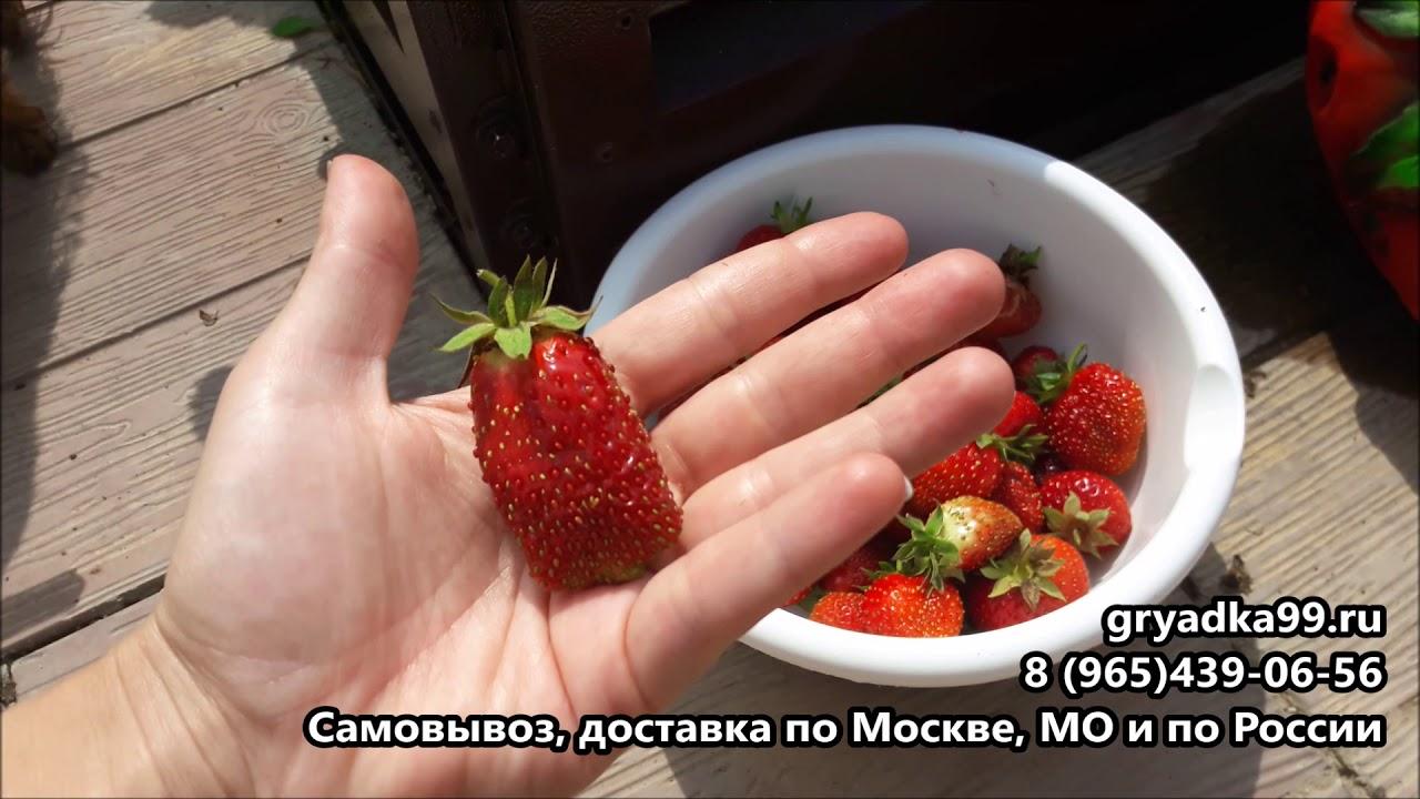Рассада клубники мице шиндлер порадует садоводов необычным вкусом ягод, купить рассаду этого сорта можно воспользовавшись услугами нашего сайта, цены вас приятно удивят.