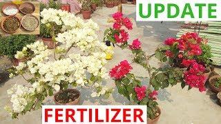 How to fertilize bougainvillea?
