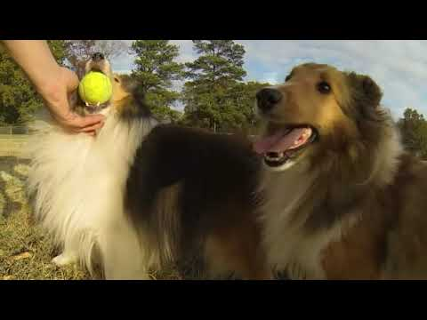 Holly Bluff Shelties At Play
