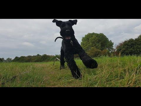 Drogon - 2 Year Old Giant Schnauzer - 4 Weeks Residential Dog Training