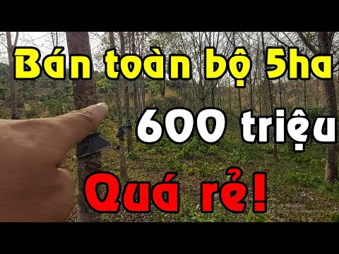 5ha đất chỉ 600 triệu! Bán vườn cao su giá cực rẻ, rẫy 1400 cây đã mở miệng 1100 thu năm đầu