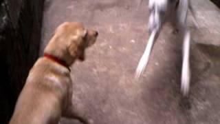 Labrador Retriever Vs Levi's 501 Dalmatian