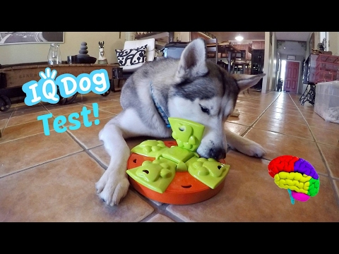 Testing My Husky's Intelligence! - Dog IQ Puzzle Test!