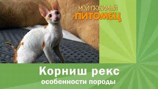 КОРНИШ РЕКС: кому подходит, советы при выборе котенка, памятка владельцу