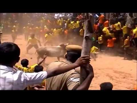 """பாருங்க உடம்பு எல்லாம் அப்படியே புல்லரிக்கும் """"Kombu Vacha Singam"""" Jallikattu-video"""
