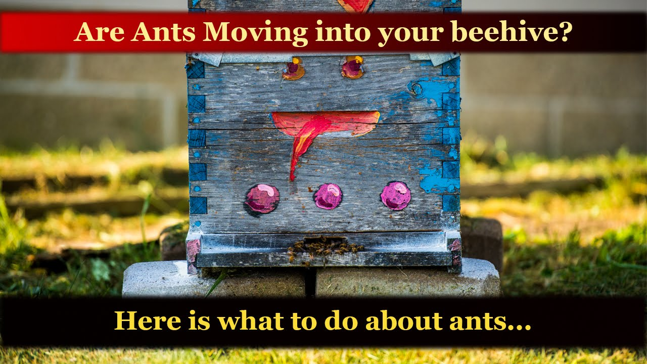 ants raiding or moving into a honey bee hive how to stop kill ants