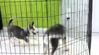 Siberian Husky Puppies For Sale In Miami Broward Fl.