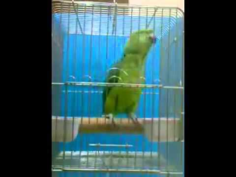 Video Burung Pintar Ngaji Al-Quran