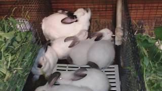 Dovşan balalari(teze doğulan üç aya qədər)ABUNE olun yeni videolar izləyin