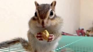 Bikke loves pistachio/シマリスのもぐもぐ動画