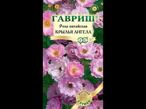 Роза Крылья ангела из семян.
